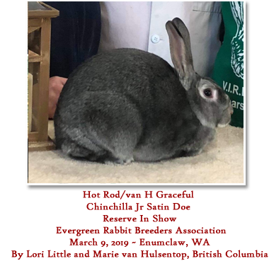 Hot Rod/van H Graceful | Chinchilla Jr Satin Doe | Reserve In Show | Evergreen Rabbit Breeders Association | March 9, 2019 ~ Enumclaw, WA | By Lori Little and Marie van Hulsentop, British Columbia
